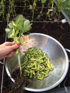 Harvesting Edamame