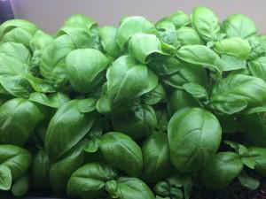 Microgreen Basil