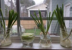 Regrowing Veggies