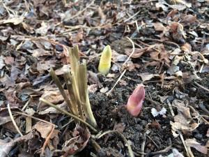 Asparagus Shoots