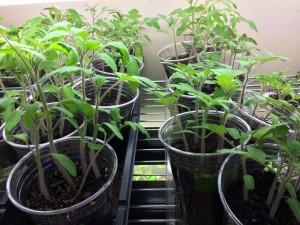 Tomatoes Needing Thinning