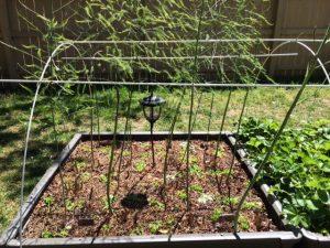 Green Mulch on Asparagus