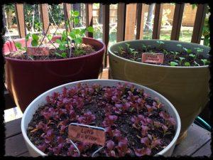 Lettuce, Snow Peas and Radishes