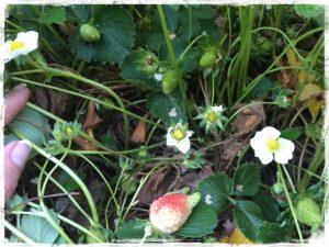 Strawberry Jungle