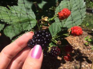 First Year Blackberries