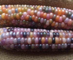 Glass Gem Corn Close Up